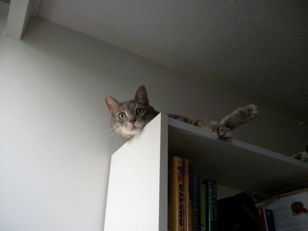 book cat bookshelf